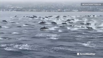 This huge pod of dolphins playing along side of a boat is the coolest thing you will see today