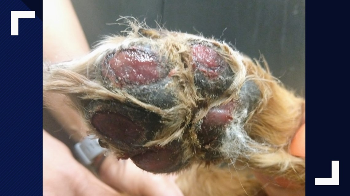 This dog's pads burned off while on walk in summer heat