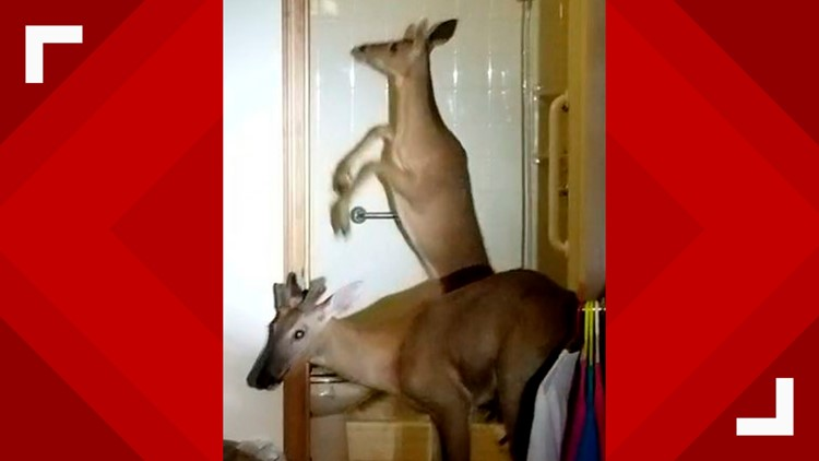 Deer Invade Apartment Indiana