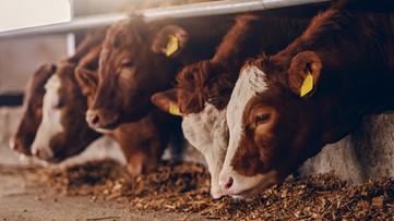Dairy farmers begin to flush away milk due to coronavirus