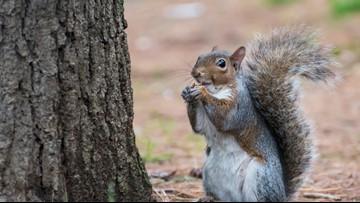 Squirrels hide more than 200 walnuts under SUV's hood