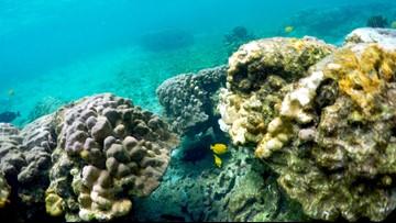 Hawaii coral die-off predicted in marine heat wave