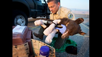 Cinder, bear cub badly burned in 2014 wildfire, is killed by hunter