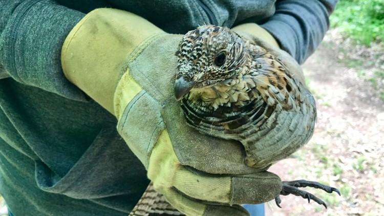 Lulu the wild ruffed grouse in the hands of her friend Bob Flach