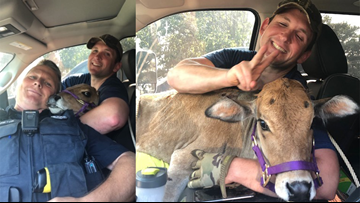 State police find missing miniature cow, snap selfies, take her home