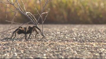 Tarantula migration expected to crawl through Colorado
