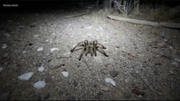Watch your step: Fist-sized tarantulas spotted in Texas