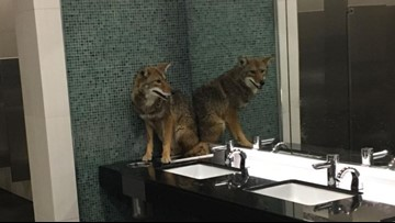 Coyote released back into the wild after sneaking into Music City Center