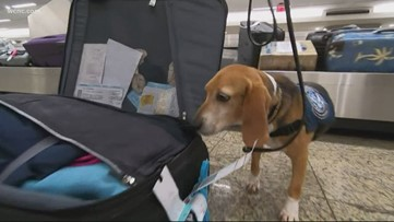 The Beagle Brigade: Formerly abused dog now shines with Homeland Security