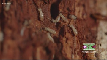 Termite Awareness Week calls attention to a big pest problem