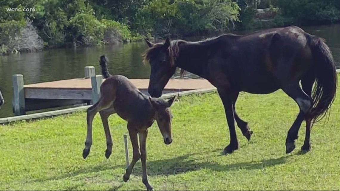 Fishermen save wild horse from drowning in North Carolina