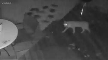 Caught on Camera: Bobcat seen wandering through Charlotte yard