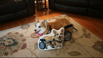 Build me up, Buttercup! Disabled Corgi delivers 'huggable hope' to Levine Children's Hospital