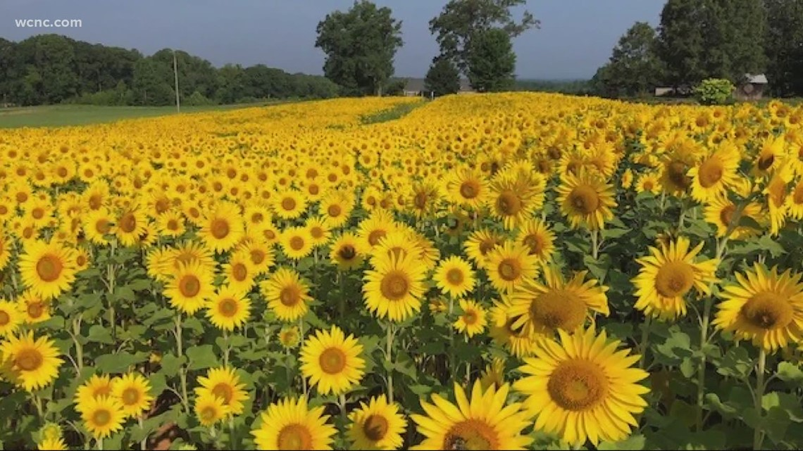 Where to see sunflowers in the Charlotte area