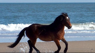 Famous wild horse from NC Outer Banks dies