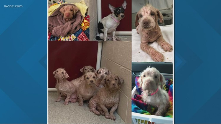 11 dogs rescued from living in car with owner in Catawba County