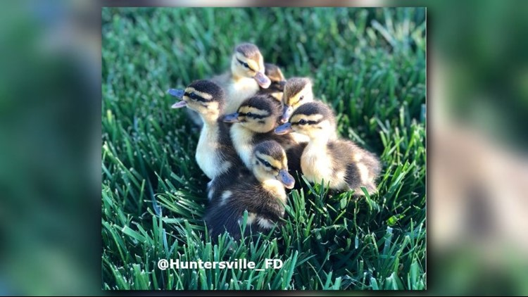 Firefighters rescued a group of baby ducks from a storm drain in Huntersville.