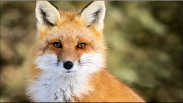 Fox tests positive for rabies in Lincoln County