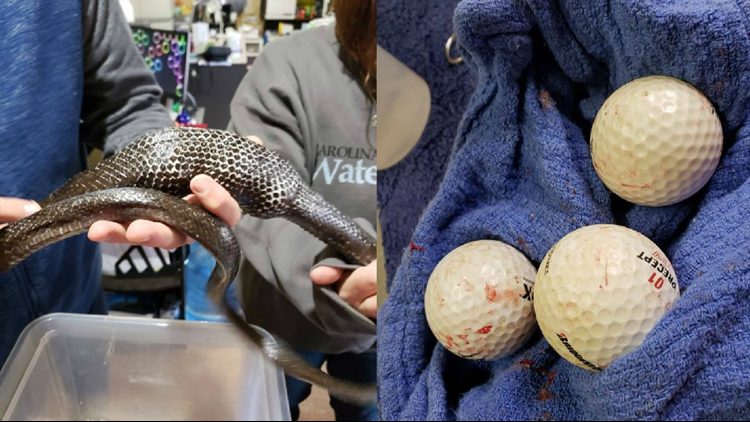 Carolina rescue group removes three golf balls from a dehydrated and emaciated rat snake
