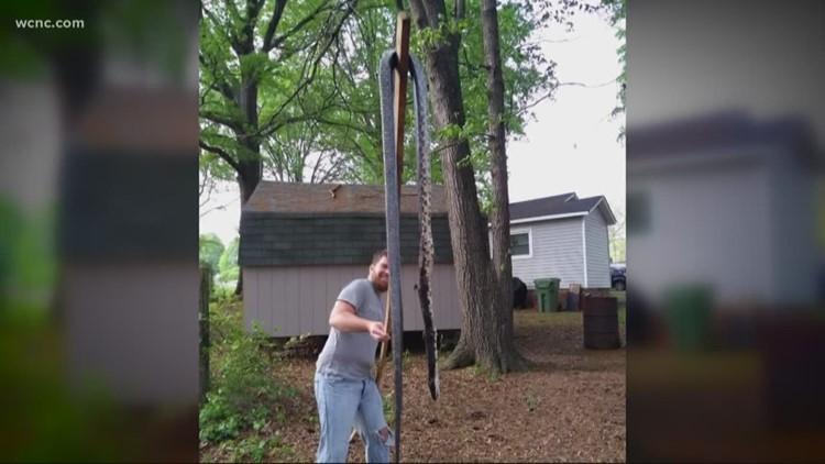 Massive snake found in Gaston County