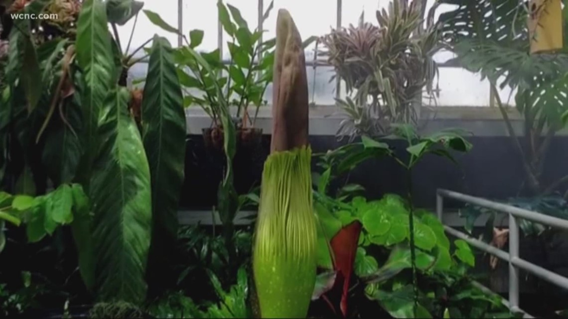 wcnc.com | watch:Special Bloom at UNCC Botanical Gardens