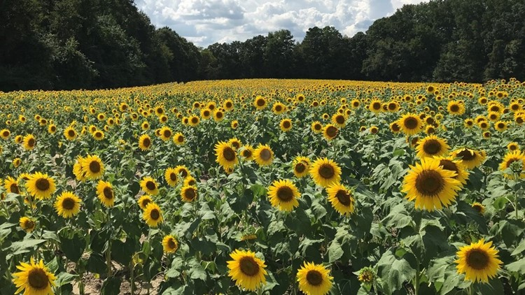 Sunflowers waxhaw