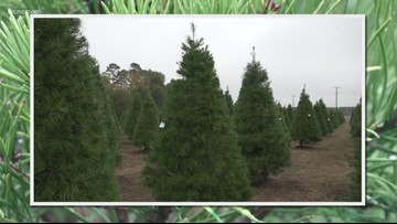 Real Christmas trees are making a comeback, retailers say