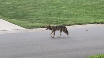 Coyotes spotted in south Charlotte neighborhoods
