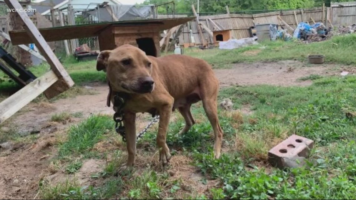 Several chained and scarred dogs rescued from an alleged dogfighting ring