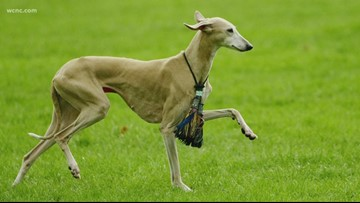 American Kennel Club adds 'Azawakh' to list of recognized breeds