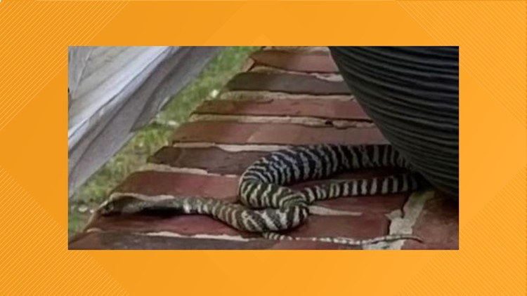 Venomous zebra cobra captured on porch in Raleigh neighborhood