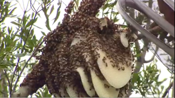 Watch: Massive honeybee hive relocated from NBC Charlotte's parking lot