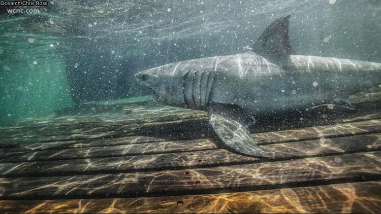 White Shark found off the coast of NC named Charlotte