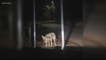 Pack of coyotes spotted near uptown Charlotte