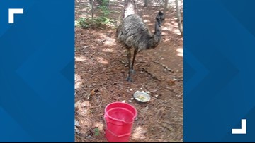 Emu that ran wild in North Carolina for weeks died during capture