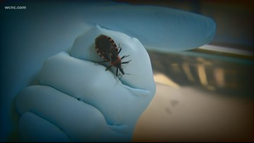 Kissing bug warning: Small insect could carry killer disease