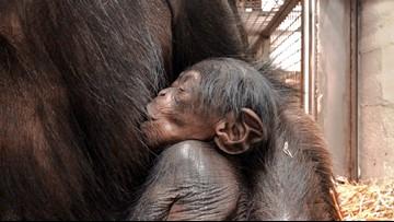New chimp born at North Carolina Zoo