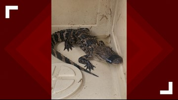 Baby alligator found in High Rock Lake had to be euthanized, officials say