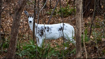 Rare piebald deer spotted in North Carolina neighborhood