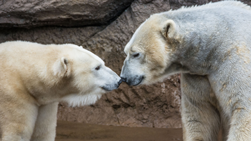 Love is in the air at NC Zoo   Could this be the year we get a baby polar bear?