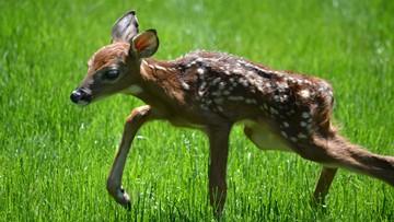 Watch: NFL wide receiver's daughter befriends baby deer