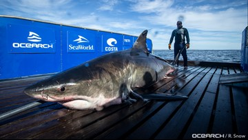 1-ton great white shark pings off Florida coast