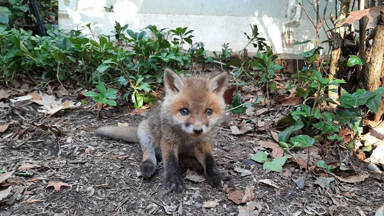 Virginia animal shelter helps reunite baby fox with its mom